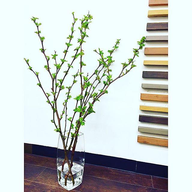 *お店のお花をチェンジ。春らしく青々とした枝物を選んでみました!うまくいけば白いお花が咲くそう♡これから楽しみです#r#rhair#rhairatelier#美容室#福岡美容室#薬院美容室#green#植物#枝#instapicture