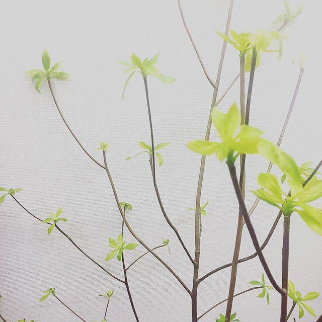 今月のお花黄緑の葉がとってもきれいなリョウブを飾ってみました枝物は、ポンといけるだけでも絵になってステキですね店内でも春を感じて頂けるとうれしいです#r#hair#rhairatelier#美容室#福岡美容室#薬院美容室#枝#リョウブ#花#green#instagreen#植物